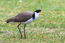 Masked Lapwing On The Grass