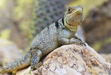Collared Iguanid Lizard ( Oplurus Cuvieri ) Or Madagascar Spiny Tailed Iguana.