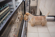 Red Dog Scottish Terrier Stand...