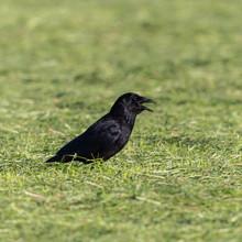 Black Raven (corvus Corone) St...