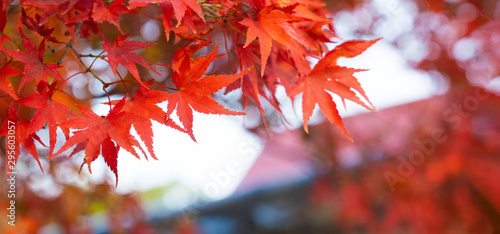 Pinturas sobre lienzo  Autumn Colors in Tokyo, Japan, Beautiful autumn maple leaves in sunlight