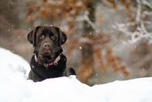 Beautiful Chocolate Labrador Lying In The Snow