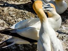 Gannets Gather Together During Mating Season. Murawai Beach, Auckland, New Zealand