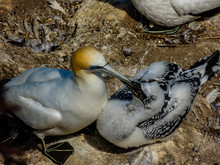 Gannet Parents And Chicks Share Moments Together. Murawai Beach, Auckland, New Zealand