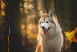 Profile Portrait of free and beautiful Beige Siberian Husky on a forest background in golden autumn season - 295647803