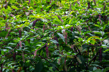 Subtropical Stormy Green Vegetation With Clusters Of Wild Berries On The Coast Of Sochi
