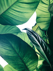Fototapeta Popularne Abstract tropical green leaves pattern on white background, lush foliage of giant golden pothos or Devil's ivy (Epipremnum aureum) the tropic plant.