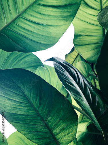 Abstract tropical green leaves pattern on white background, lush foliage of giant golden pothos or Devil's ivy (Epipremnum aureum) the tropic plant. - 295667242