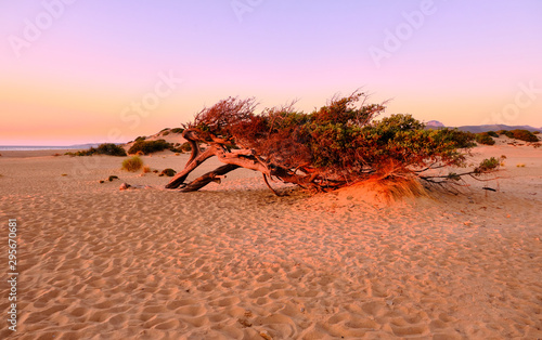 Photo Juniperus in Dune di Piscinas, Sardinian Desert, Arbus, Italy