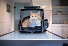 Cream Tabby Ginger Maine Coon Cat Looking Out Of Pet Carrier Backpack At The Veterinarian