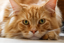 Chat Maine Coon En Gros Plan
