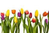 Fototapeta Tulips - Bunte Tulpen Freisteller