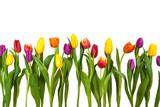 Fototapeta Tulipany - Bunte Tulpen Freisteller