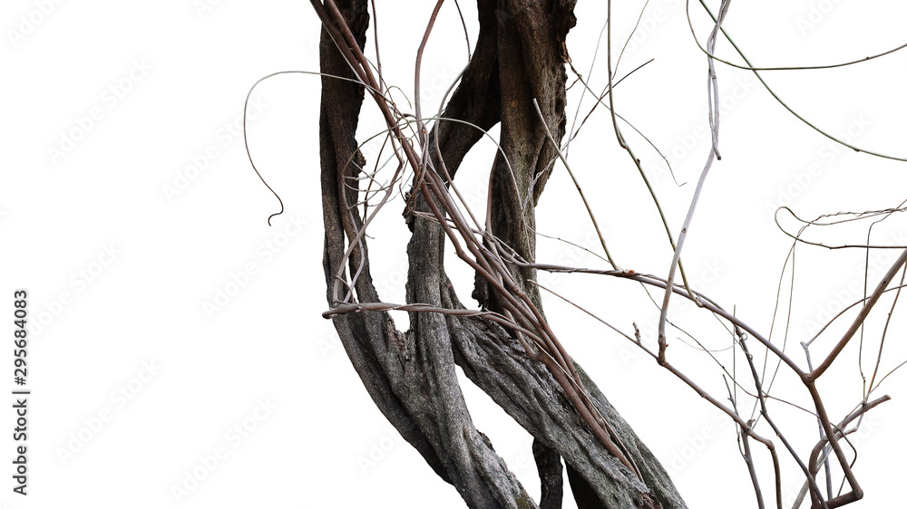 Fototapeta Old spooky jungle tree trunk with twisted tree branches of flowering climbing plant isolated on white background, clipping path included.