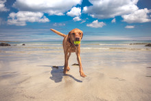 A Fit And Active Yellow Labrador Retriever Dog Running From The Ocean With A Ball In Its Mouth Whilst Dripping Wet From Water With Copy Space On A Summer Vacation Beach Holiday