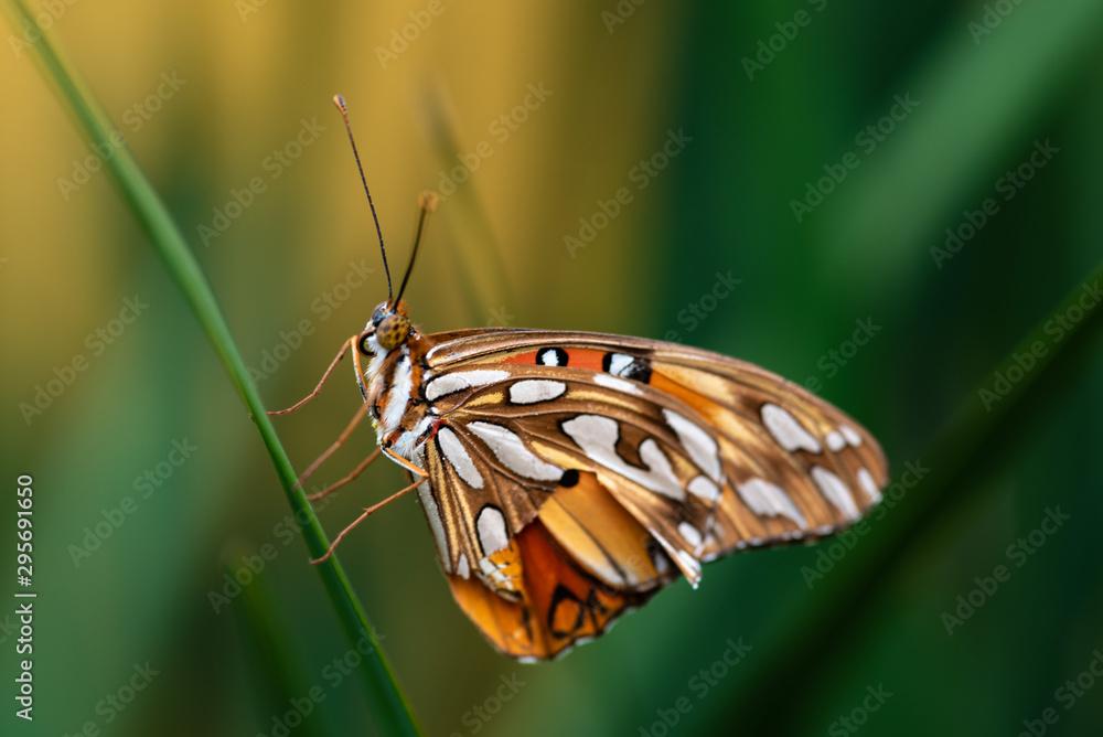 Fototapeta Beautiful and colorful tropical butterfly in natural habitat. Selective focus.