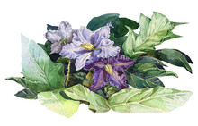 Nightshade Violet Flowers With Green Leaves Watercolor Illustration. Solanum Botanical Toxic Herb Purple Blossoms. Blooming Potato Branch Isolated On White Background.