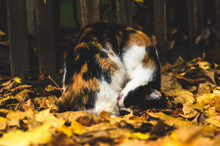 Calico Cat Washing His Face On Autumn Leaves