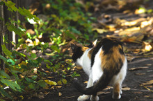 Calico Cat Sneaks In The Autumn Grass