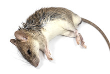Rat Die Isolated On White Back...