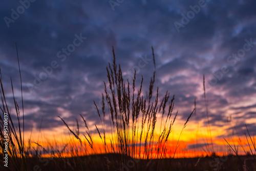 Fotografie, Tablou grass silhouette on the dark dramatic evening sky background, twilight prairie s