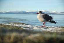 A Young Ring-billed Gull Stands Looking At Side On Frozen Ground Hoping For Some Food