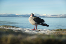 A Young Ring-billed Gull Stands Looking At The Camera On Frozen Ground Hoping For Some Food