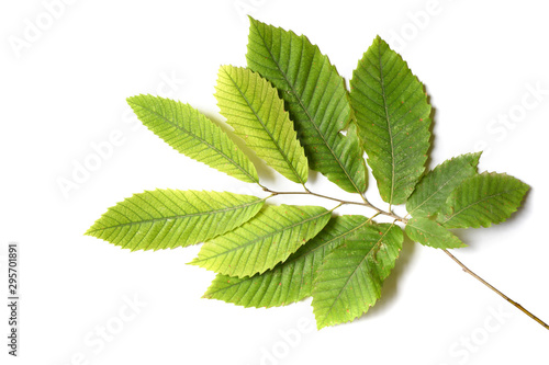 Leinwand Poster  chestnut leaves isolated on white background