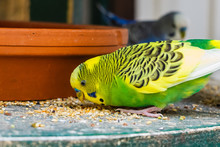 Funny Looking Smiling Budgerig...