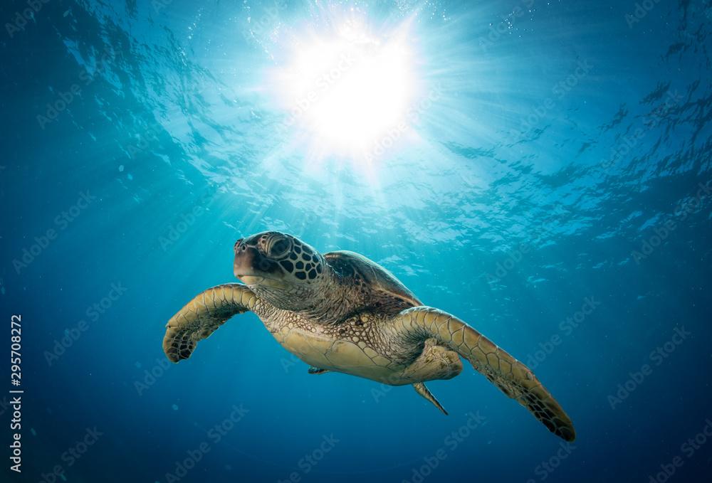 Fototapeta Hawaiian Green Sea turtle on a coral reef in Maui