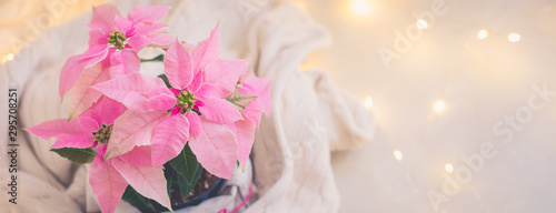 Fotobehang Bloemenwinkel Christmas pink poinsettia potted with beige knitted pullover with sparkling garland