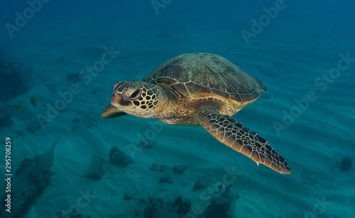 Canvas Prints Under water Hawaiian Green Sea turtle on a coral reef in Maui