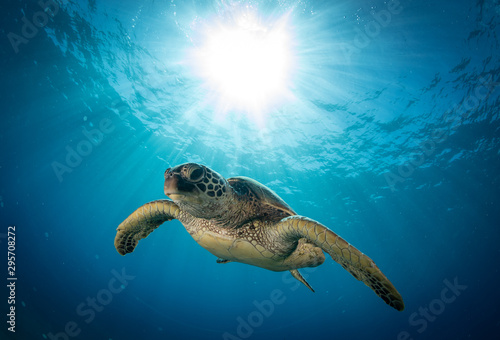 Fototapeta Hawaiian Green Sea turtle on a coral reef in Maui