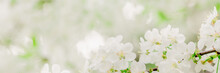 Cherry Branch With White Flowe...