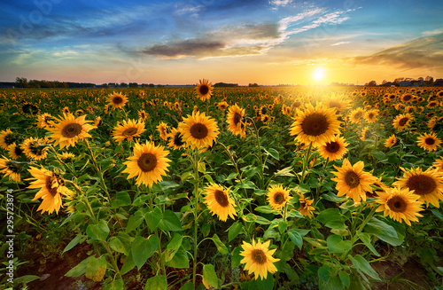Fototapeta Beautiful sunset over sunflower field