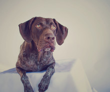 German Short-haired Pointer Ly...