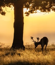 Portrait Of A Stag Grazing At Sunset, Bushy Park, Richmond Upon Thames, United Kingdom