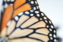 Close Up Of Monarch Butterfly Wings.