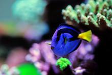 Royal Blue Tang - Paracanthuru...