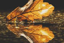 Close-up Of An Oak Leaf In A Puddle, United Kingdom