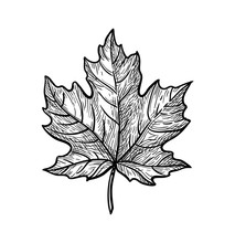 Ink Sketch Of Maple Leaf.