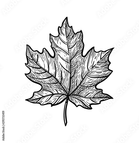 Fotografie, Obraz Ink sketch of maple leaf.