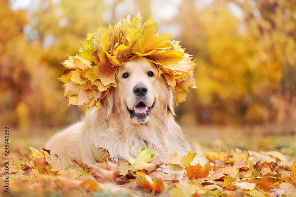 Golden retriever wearing wreath of yellow maple tree leafs