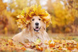 Golden retriever wearing wreath of yellow maple tree leafs