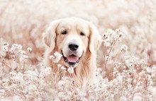 Golden Retriever At The Lawn With Fluffy White Flowers