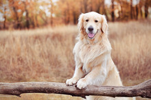 Golder Retriever Holding Paws ...