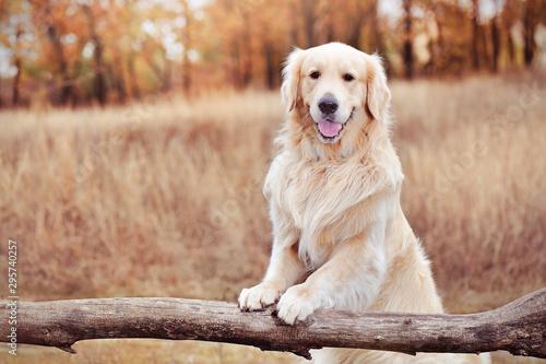 golder-retriever-trzyma-lapy-na-drewnianym