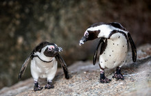 African Penguins Also Known As...