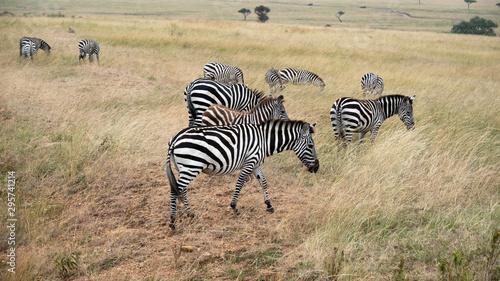 Photo Zebras Grazing