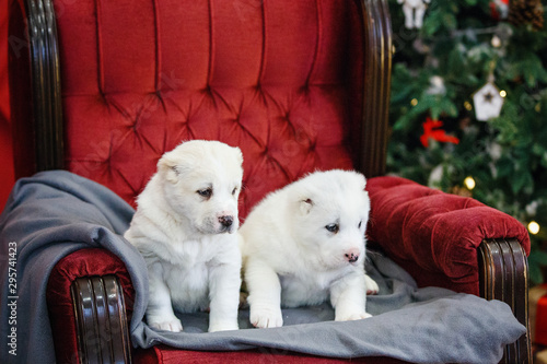Fototapety, obrazy: Little adorable white puppy, Central Asian shepherd dog on a red luxurious couch in the New Year.
